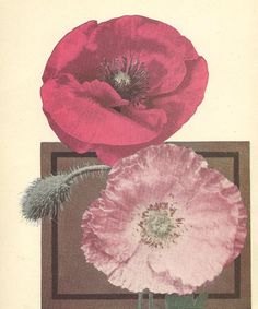 Shirley Poppies and Ten Week Stocks Beautiful Botanical Print Full Color Double Sided Bookplate 1932