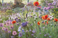 Alliums, Irises, and poppies in a field
