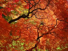 George Eastman House Japanese Maples by Lisa Cook