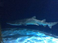 Sandtiger shark at Point Defiance Zoo and Aquarium. Photo cred goes to Sophie Lembke