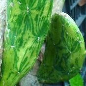 Opuntia- variegated- spineless