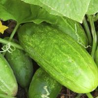 How to Grow Cucumbers With Tomato Cages | eHow Good.