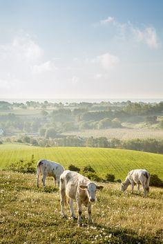 Cows. Rörums backar, Skåne. © Anders Tuckler