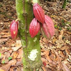 cacao is a many splendored thing start to finish..passing through as few hands as possible til it hits your tongue.