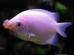 Le gourami embrasseur est un gros gourami qui mesure 30 cm à l'âge adulte.
