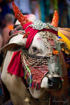 Holy cow...Why not to be the most beautifull between the cows??? Travel in India with boutique tour organizer Nomaday travel and discover Incredible things: www.nomadaytravel.com