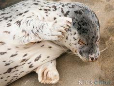 La Jolla Shores Harbor Seal