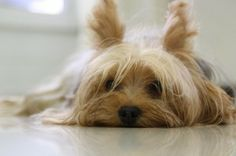 Free Photo: Yorkshire Terrier, Dog, Yorkie - Free Image on Pixabay - 171701 Raza Yorkshire, Perros Yorkshire Terrier, Yorkies, Yorkie Dogs, Puppies, Feeling Sleepy, Feeling Lazy, Pet Trust, Tiny Dog Breeds