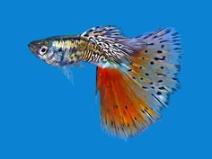 The guppy (Poecilia reticulata), also known as millionfish and rainbow fish, is one of the world's most widely distributed tropical fish, and one of the most popular freshwater aquarium fish species. Tropical Freshwater Fish, Tropical Fish Tanks, Freshwater Aquarium Fish, Tropical Aquarium, Aquarium Fish Tank, Guppy, Mosquito Fish, Beautiful Fish, Beautiful Pictures