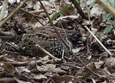 sunshinecoastbirds: Black-breasted Buttonquail Looking Good