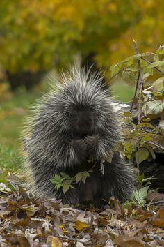 The Pondering Porcupine