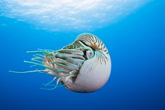 A chambered nautilus (Nautilus pompilius), whose many tentacles do not have suckersPhotograph: Reinhard Dirscherl/Corbis