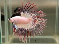 1000 images about fancy freshwater fish on pinterest for Petsmart betta fish