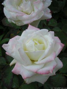 Rosa 'Athena' (Germany, 1984)