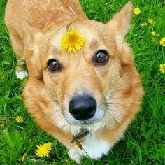 Such a little dandelion! #corgi #pembrokewelshcorgi #welshcorgi