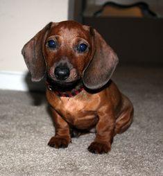 Ella, a mini dachshund! - Submitted by Michelle F #Dachshund #DogCare Dachshund Funny, Dachshund Puppies, Dachshund Love, Cute Puppies, Cute Dogs, Dogs And Puppies, Weenie Dogs, Doggies, Miniature Dachshunds
