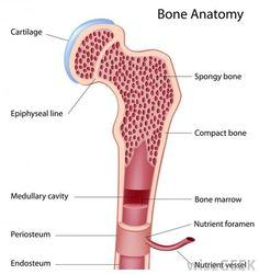 bone anatomy -         Repinned by Chesapeake College Adult Ed. We offer free classes on the Eastern Shore of MD to help you earn your GED - H.S. Diploma or Learn English (ESL) .   For GED classes contact Danielle Thomas 410-829-6043 dthomas@chesapeke.edu  For ESL classes contact Karen Luceti - 410-443-1163  Kluceti@chesapeake.edu .  www.chesapeake.edu: