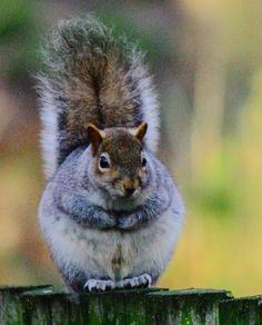 A Squirrel'S Tale Squirrel nature park grey cute fluffy animal pastel colour