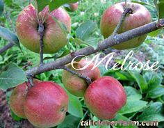 Ten best apples I grow. And by best apples, I mean, tree varieties that aren't too fussy and grow fruit of exceptional quality and flavor.