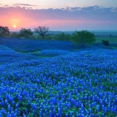 Bluebonnets!! My grandmother and I got to see them bloom one year on a road trip......how lucky is that????