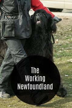 The Newfoundland is a strong, intelligent dog that is in the Working Group. Their desireness to please their owners makes them excel at many jobs that other dogs can not do. Dog Training Bells, Best Dog Training, Small Puppies, Dogs And Puppies, Psychiatric Service Dog, Dogs With Jobs, Purebred Dogs, Guide Dog, Therapy Dogs