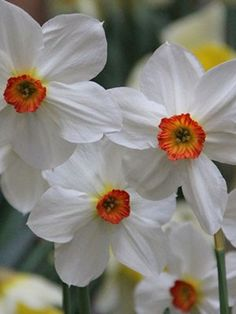 Daffodil Fire Tail available at LivingGardens.com