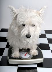 chien obese