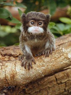 Emperor Tamarin Baby - An adorable baby Emperor Tamarin looking for mischief