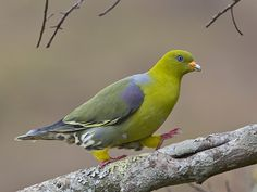 African Green Pigeon http://focusingonwildlife.com/news/wildfocus/featured/_mg_1929-green-pigeon-nnp-web-copy/