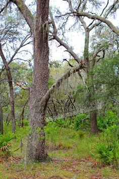 """It would seem that Nature has a clothesline in Brooker Creek Preserve in Tarpon Springs, Florida.  Available in 4x6"""" to 20x30""""."""
