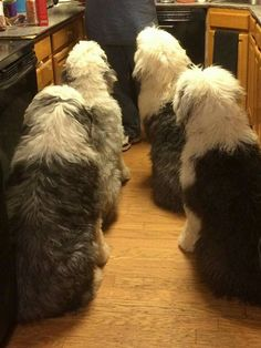 so awesome. old english sheepdogs. Sheep Dogs, Doggies, Dogs And Puppies, Sheepadoodle Puppy, Goldendoodles, Beautiful Dogs, Animals Beautiful, I Love Dogs, Cute Dogs