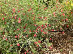 Image:Calliandra californica2.jpg - California Natives Wiki