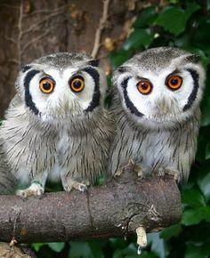Owls - Owl Photography - Community - Google+