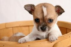 Cute Chihuahua ♥
