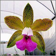OrquidaRIO - Planta Cattleya tenuis. Durante muitos anos foi classificada como uma variedade da Cattleya bicolor, tornando-se espécie em 1983.