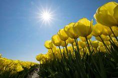 Sárga tulipán a Ruud van der Lubben napján