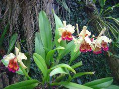 c. aurea