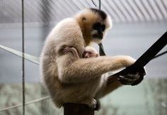 Twycross Zoo, Leicestershire,has welcomed the birth of a baby white-cheeked golden gibbon, the first of the year in Europe.The new arrival, who is yet to be named, is the fifth offspring to mother Kampuchea, originally from Oregon Zoo, and father Earl, who was moved to Twycross from Mulhouse Zoo in France. Northern white-cheeked gibbons are …