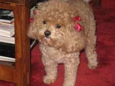 poodle red bow