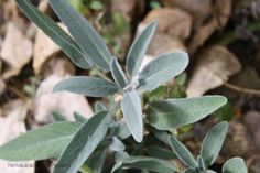 """Sage. One of my favorite culinary herbs and one of the herbs people have easy access to no matter where they are. Salvia officinalis – even the Latin name gives us an idea of the respect this Mediterranean beauty has earned. Salvia in Latin derives from the word salvere which means, """"to save."""" Historically, it has been used in many ways from a facial toner to a plague remedy, as well as drying up breast milk and easing a cough. Sage is a well-loved and well-used herb throughout the ages."""