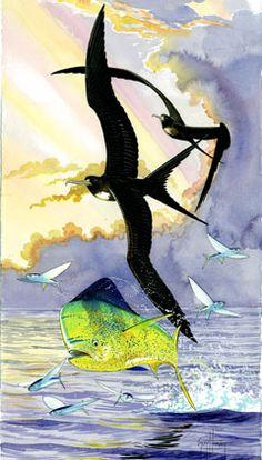 The Magnificent Frigate Bird