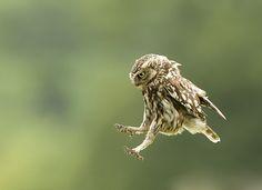Little Owl | Flickr - Photo by Kathleen Everitt