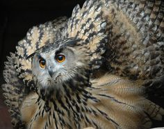 This male Eagle Owl is displaying his wings in defense as his female was on eggs. He also made a loud clicking noise.