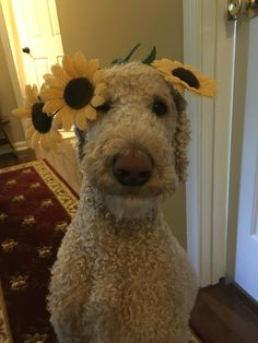 Poodle and some sunflowers- what more do I need?