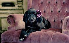 Black Spaniel Pup