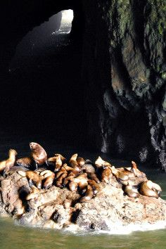 See sea lions on your Oregon Road Trip. At Sea Lion Caves & Gift Shop in Florence, Oregon have a unique experience.