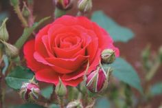 'Danny Boy' is unique among roses. A compact shrub with small, 2 1/2 inch, rich, deep crimson-red, semi-double blooms that show a distinct mossing effect. Nearly a perfect compact, shrubby plant, a little wider than tall. Rich, dark-green foliage.   Availability: Out of stock    $17.50