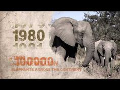 """iThemba"": Hope for Africa's remaining elephants, lions, and rhinos - YouTube"