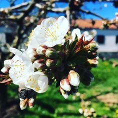 Cerezos en flor. #green #tree #trees #country #field #navarra #europe #europa #instanature #instaday #instagram #instacool #instagood #flowers #cherryblossom #cherry #love #amazing #pic #picture #pics #hiberri