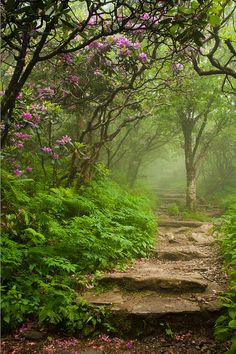Blooming Catawba Rhododendrons at a foggy craggy gardens in the Blue Ridge Mountains, North Carolina